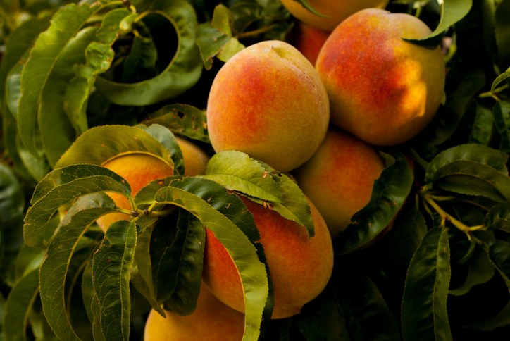 Rancho Sienna- Peach Season.png
