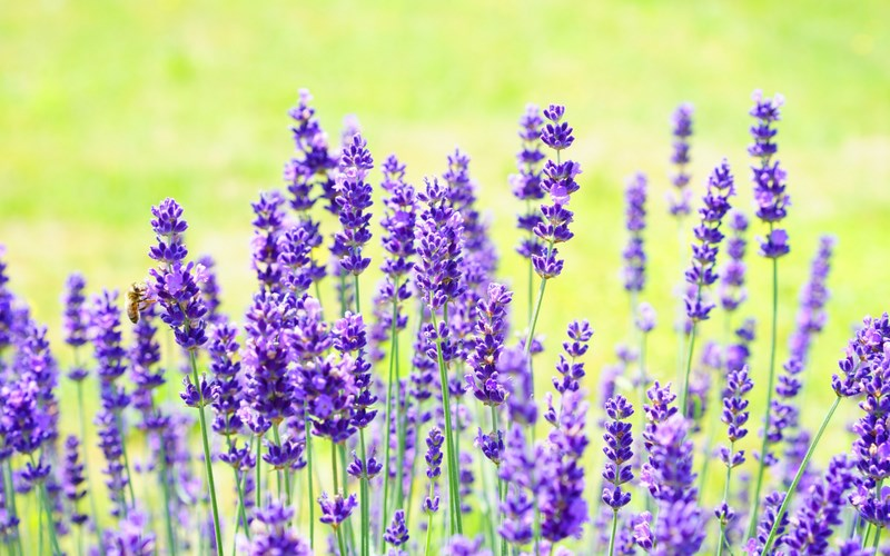 Rancho Sienna - Lavender.png